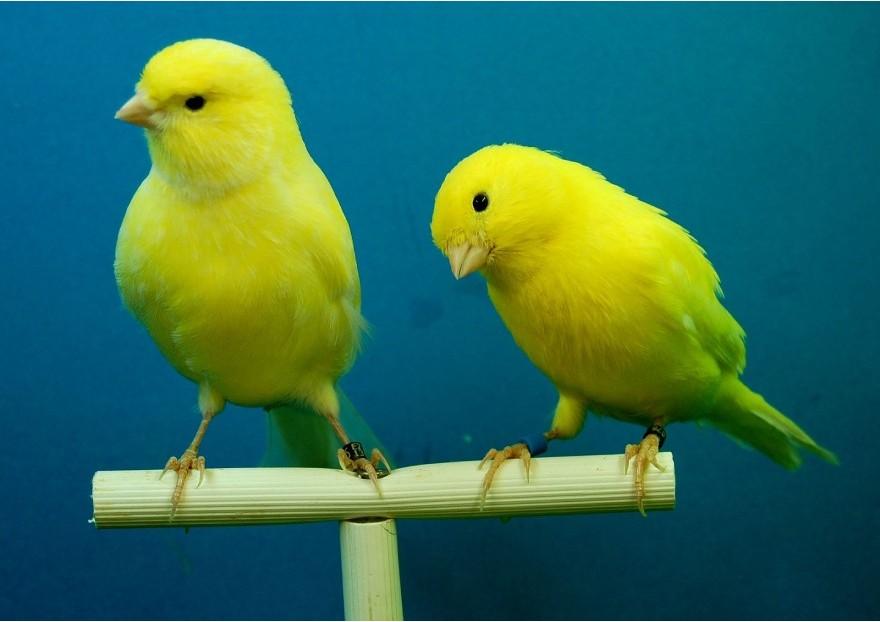 L'alimentation des canaris pendant la reproduction