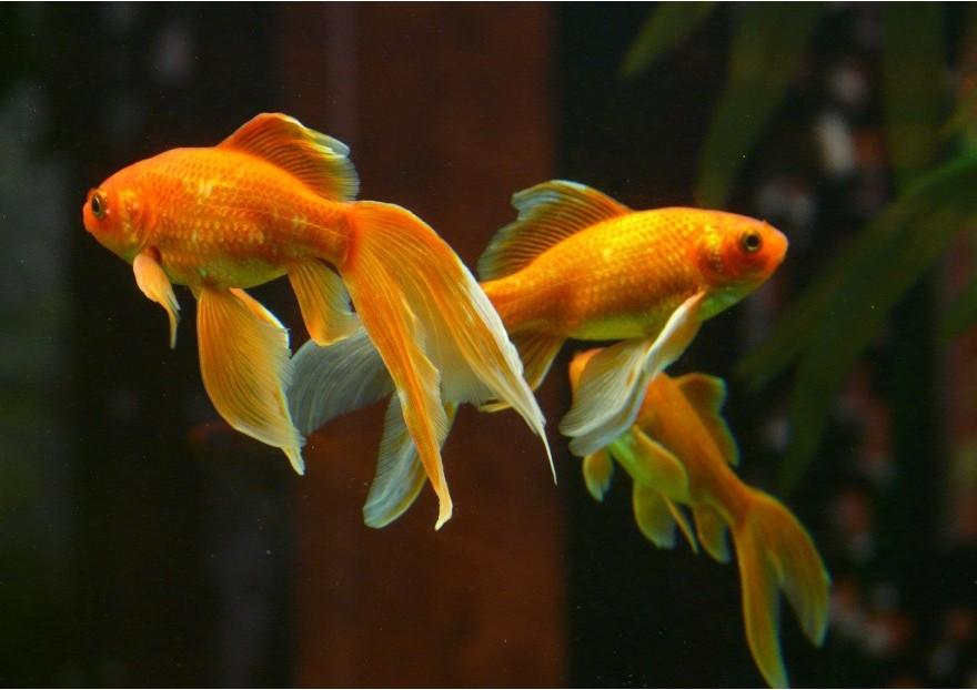Comment bien s'occuper de son poisson rouge?