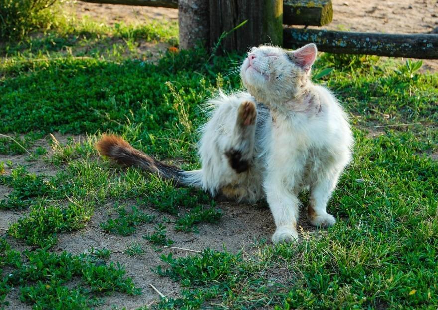 La teigne du chat